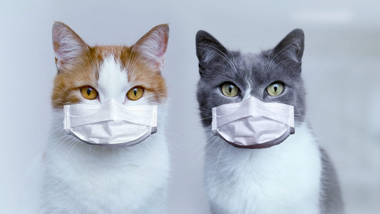 Two cats in medical protective masks. Protection and treatment of the virus. Pandemic 2020.